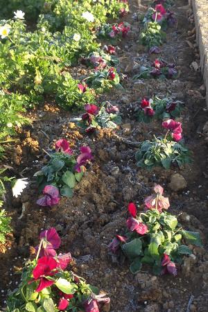 朝の花壇に霜が降りていました