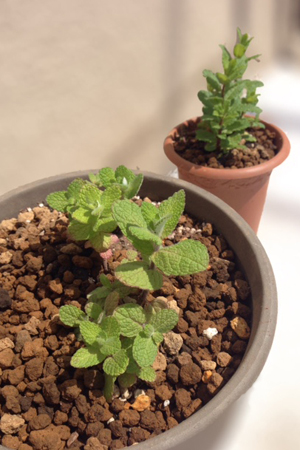 アップルミントとモロッカンミント植えたて